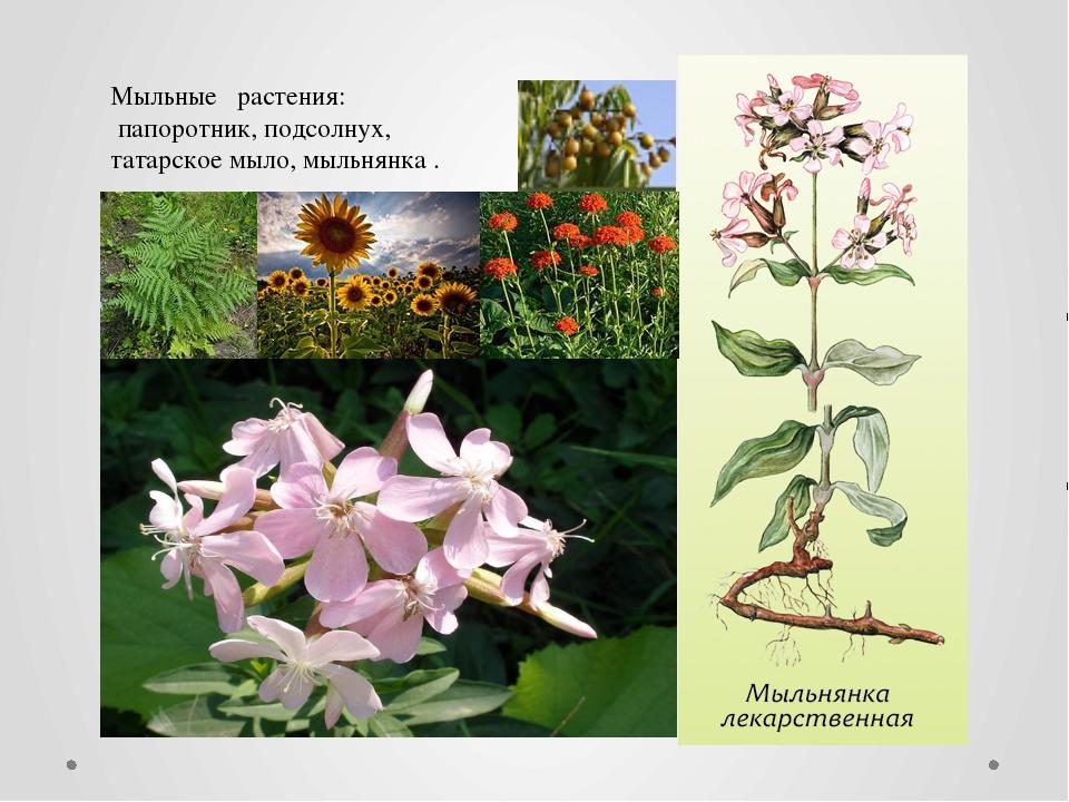 Мыльные растения: папоротник, подсолнух, татарское мыло, мыльнянка .
