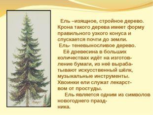 Ель –изящное, стройное дерево. Крона такого дерева имеет форму правильного у