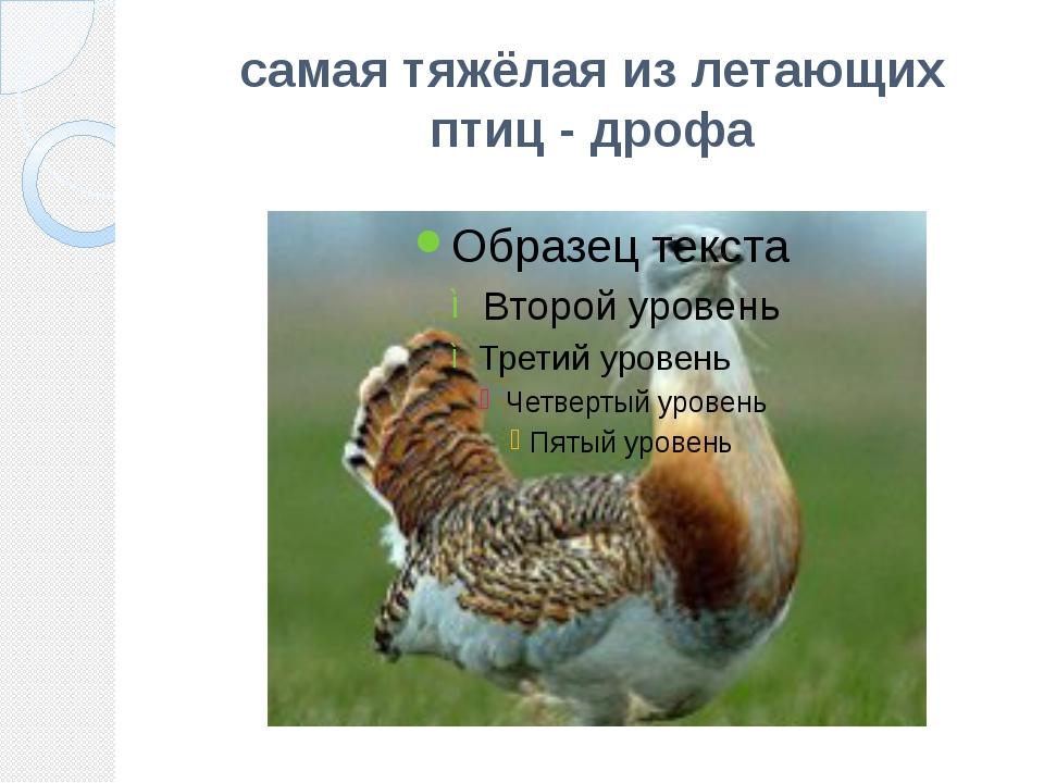 самая тяжёлая из летающих птиц - дрофа