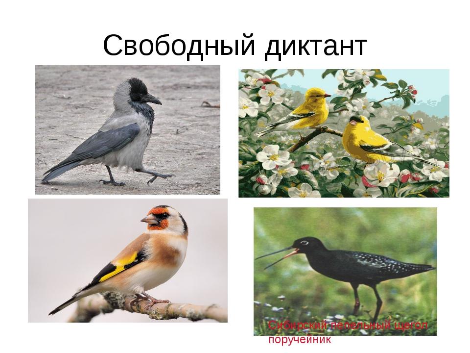 Свободный диктант Сибирский пепельный щегол поручейник