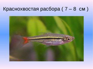 Краснохвостая расбора ( 7 – 8 см )