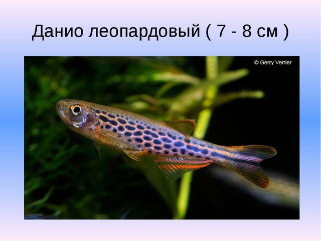 Данио леопардовый ( 7 - 8 см )