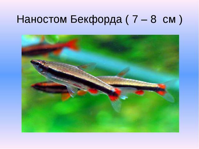 Наностом Бекфорда ( 7 – 8 см )