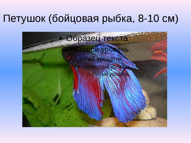 Петушок (бойцовая рыбка, 8-10 см)
