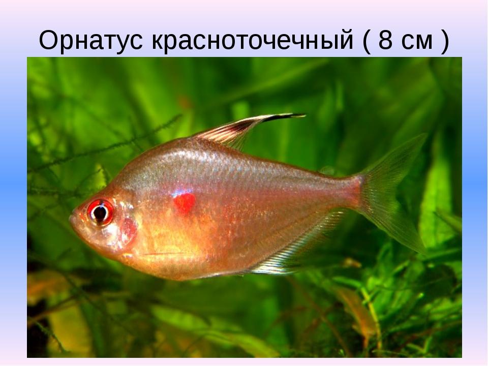 Орнатус красноточечный ( 8 см )