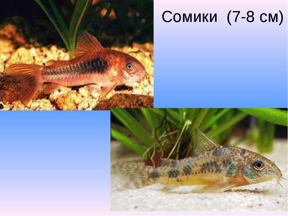 Сомики (7-8 см)