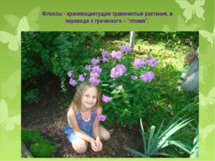 """Флоксы - красивоцветущие травянистые растения, в переводе с греческого – """"пла"""