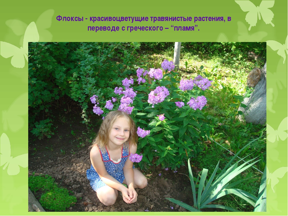"""Флоксы - красивоцветущие травянистые растения, в переводе с греческого – """"пла..."""