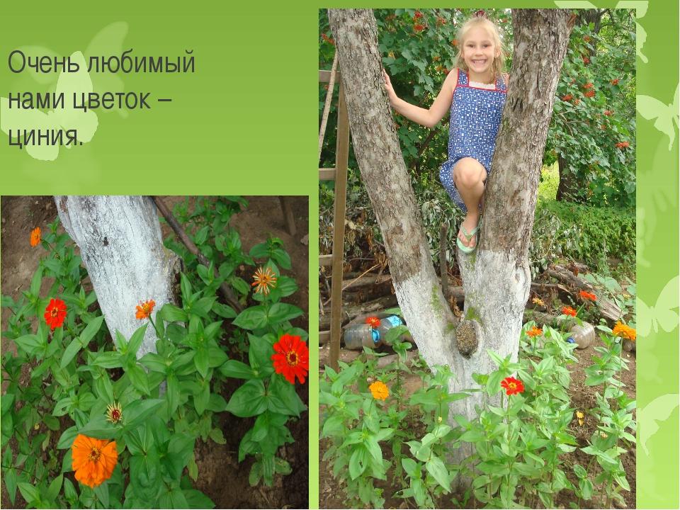 Очень любимый нами цветок – циния.