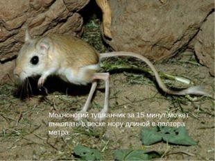 Мохноногий тушканчик за 15 минут может выкопать в песке нору длиной в полтора