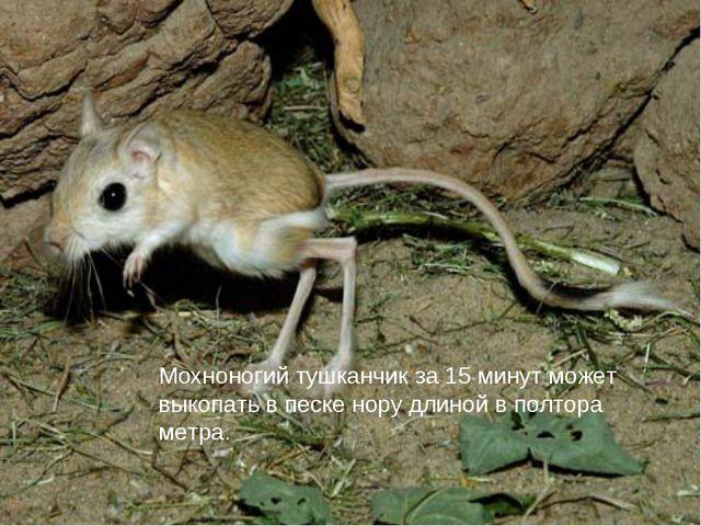 Мохноногий тушканчик за 15 минут может выкопать в песке нору длиной в полтора...