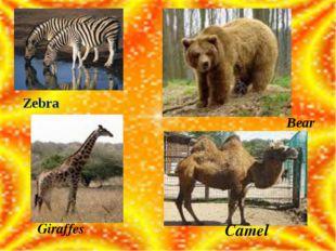 Zebra Camel Bear Giraffes
