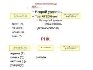 Строение нуклеотида ДНК аденин (А); гуанин (Г); цитозин (Ц); тимин (Т); дезок