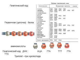 Первичная (цепочка) белка Генетический код ДНК : АЦА ГГА ТТТ ГГА ТТА Генетиче