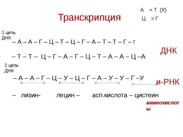 Транскрипция – А – А – Г – Ц – Т – Ц – Г – А – Т – Т – Г – Т 1 цепь ДНК 2 цеп...
