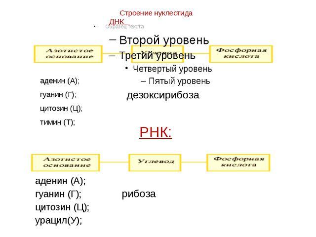 Строение нуклеотида ДНК аденин (А); гуанин (Г); цитозин (Ц); тимин (Т); дезок...