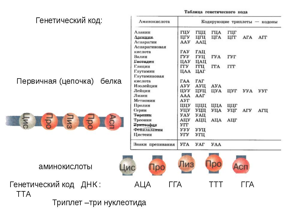 Первичная (цепочка) белка Генетический код ДНК : АЦА ГГА ТТТ ГГА ТТА Генетиче...
