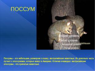 ПОССУМ Поссумы – это небольшие, размером с кошку, австралийские животные. Их