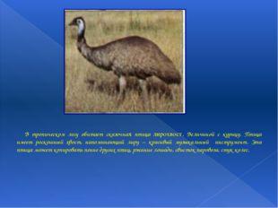 В тропическом лесу обитает сказочная птица лирохвост. Величиной с курицу. П