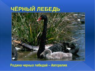ЧЁРНЫЙ ЛЕБЕДЬ Родина черных лебедей – Автсралия. Родина черных лебедей – Авст
