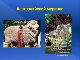Австралийский меринос Стрижка овец