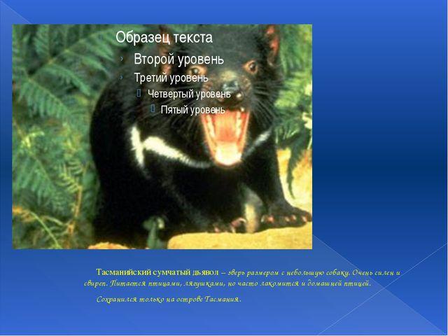 Тасманийский сумчатый дьявол – зверь размером с небольшую собаку. Очень силе...