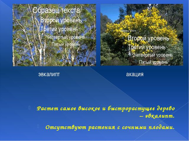 Растет самое высокое и быстрорастущее дерево – эвкалипт. Отсутствуют растения...