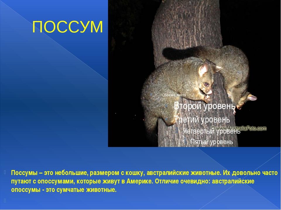 ПОССУМ Поссумы – это небольшие, размером с кошку, австралийские животные. Их...