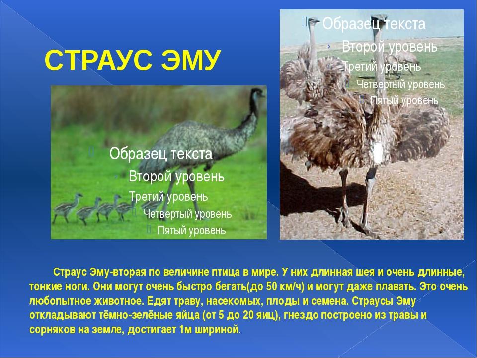 СТРАУС ЭМУ Страус Эму-вторая по величине птица в мире. У них длинная шея и о...