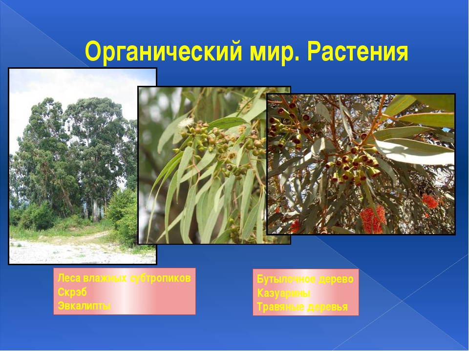 Органический мир. Растения Леса влажных субтропиков Скрэб Эвкалипты Бутылочно...