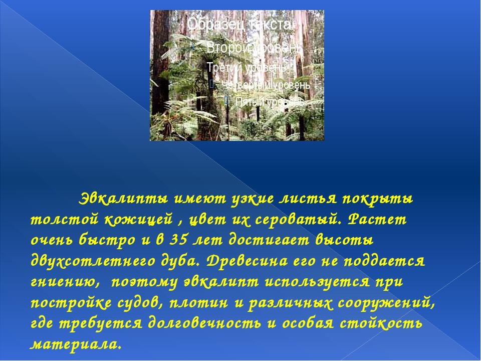 Эвкалипты имеют узкие листья покрыты толстой кожицей , цвет их сероватый. Р...