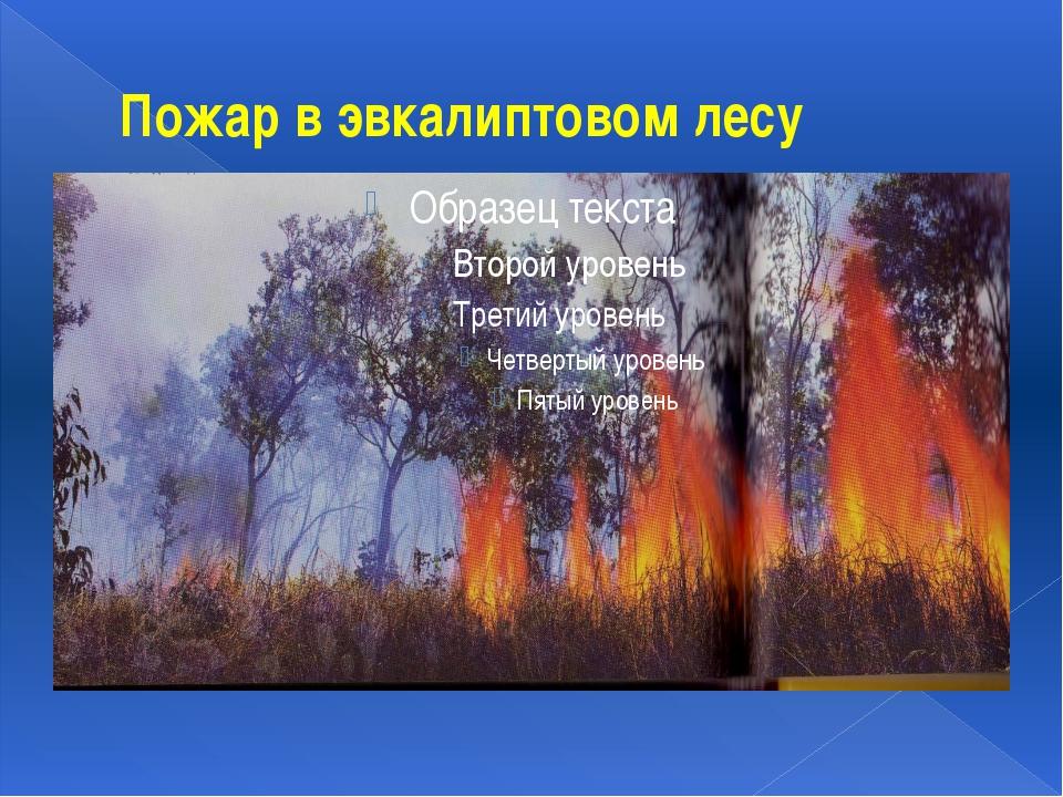 Пожар в эвкалиптовом лесу
