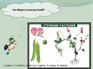 1-корень, 2-стебель, 3-листья, 4-цветы, 5-плоды, 6-семена.