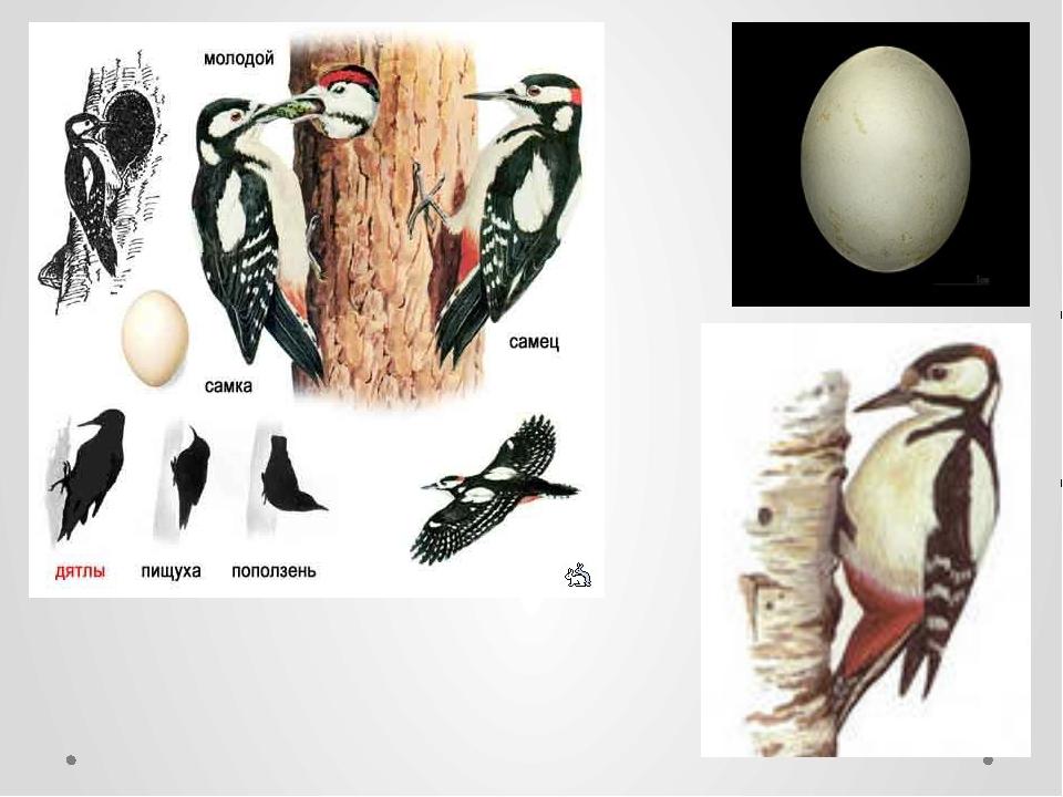 изготовлена птицы дрофа дятел и стриж инциклопедия суровикин