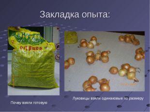 Закладка опыта: Почву взяли готовую Луковицы взяли одинаковые по размеру