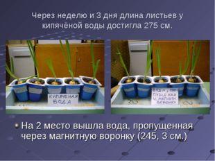 Через неделю и 3 дня длина листьев у кипячёной воды достигла 275 см. На 2 мес