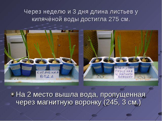 Через неделю и 3 дня длина листьев у кипячёной воды достигла 275 см. На 2 мес...
