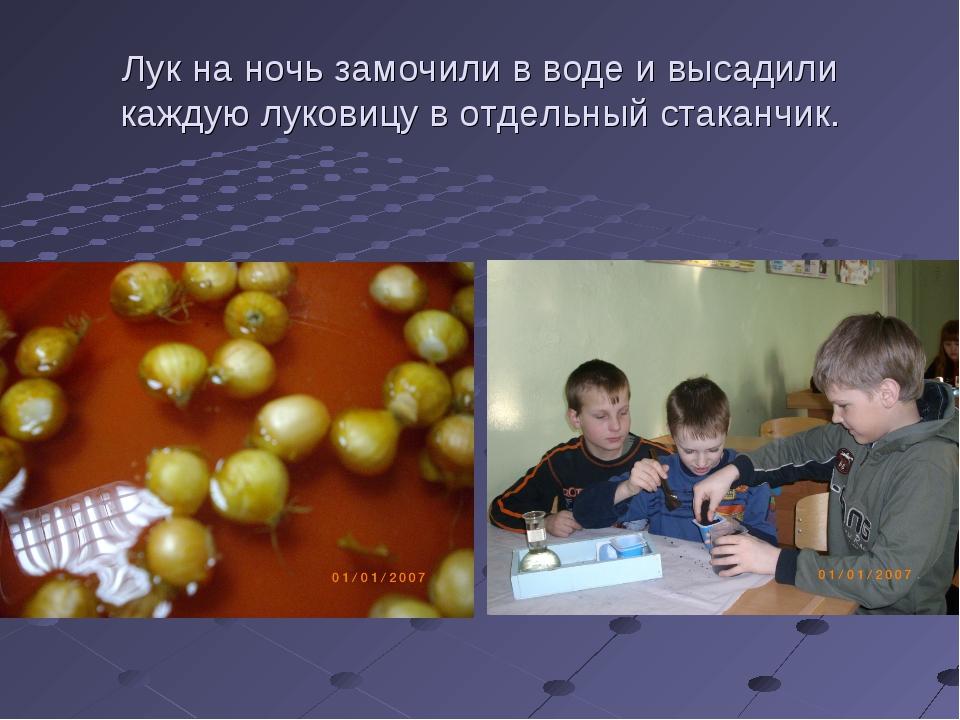 Лук на ночь замочили в воде и высадили каждую луковицу в отдельный стаканчик.