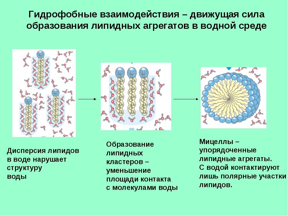 Гидрофобные взаимодействия – движущая сила образования липидных агрегатов в в...