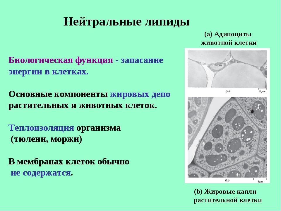 Нейтральные липиды Биологическая функция - запасание энергии в клетках. Основ...