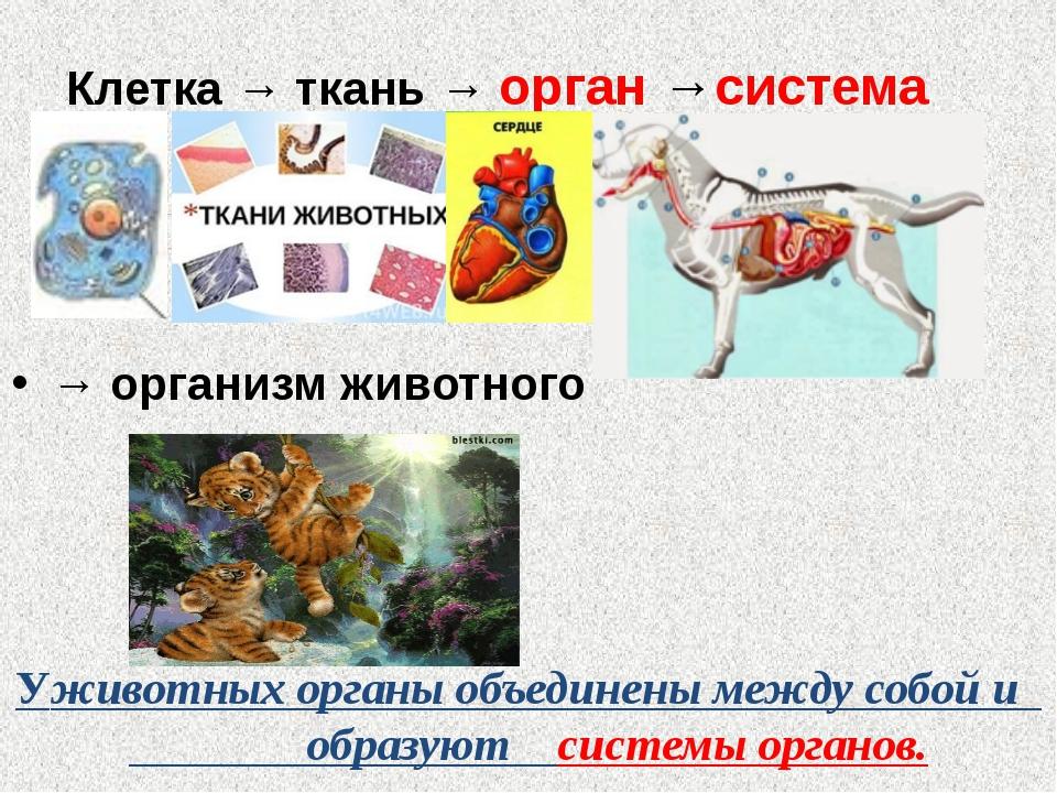Клетка → ткань → орган →система органов → → организм животного Уживотных орга...