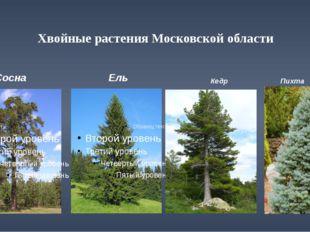 Хвойные растения Московской области Сосна Ель Кедр Пихта