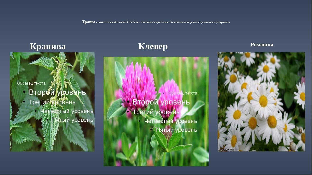 Травы - имеют мягкий зелёный стебель с листьями и цветками. Они почти всегда...