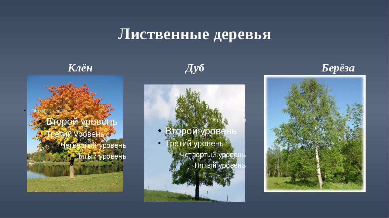 Лиственные деревья Клён Дуб Берёза
