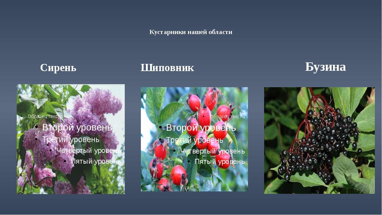Кустарники нашей области Сирень Шиповник Бузина
