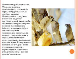 Питаются воробьи семенами. Обожают коноплю, подсолнечник, пшеничные зерна, но