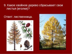 9. Какое хвойное дерево сбрасывает свои листья (иголки)? Ответ: лиственница.