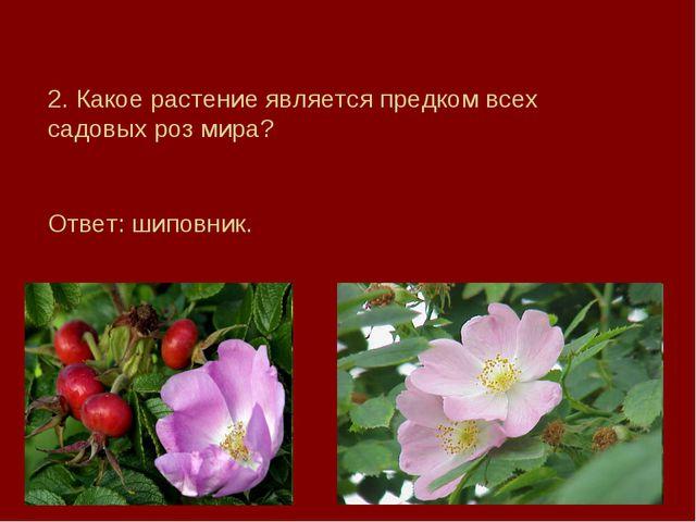 2. Какое растение является предком всех садовых роз мира? Ответ: шиповник.