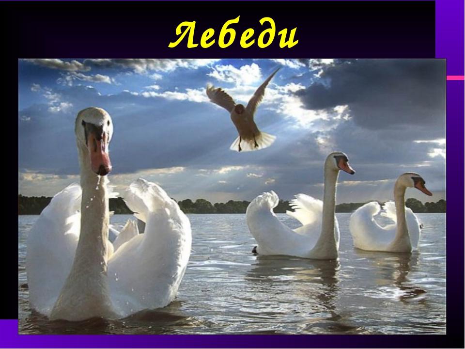 Лебеди .