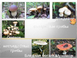 Белый гриб Лисичка Дождевик Опёнок съедобные грибы Мухомор Бледная поганка не